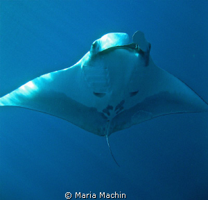 Glorious Manta, Koh Bon by Maria Machin 